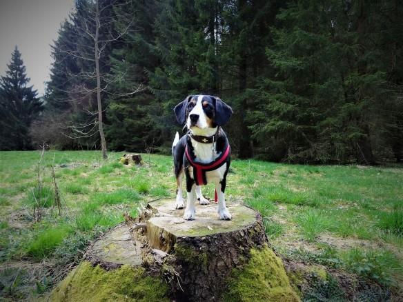 Entlebucher Sennenhund Jule