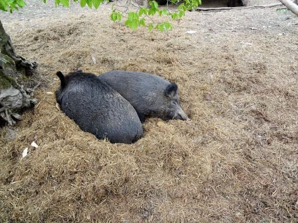 Wildschweine im Wildpark Schmidt